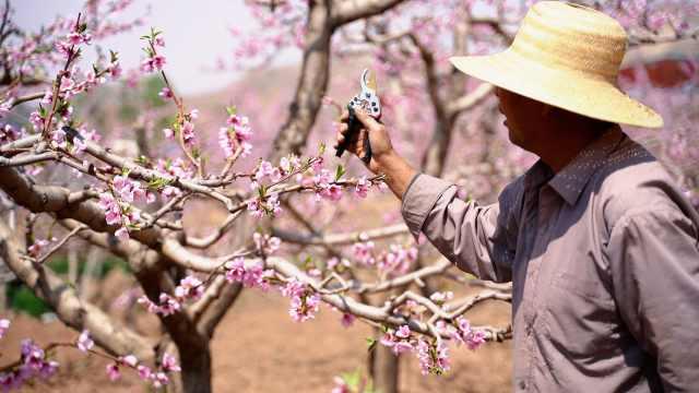 """一颗桃改变一个村!甘肃""""十里桃乡""""花正开"""