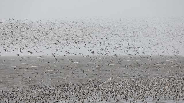 遮天蔽日的大场面!百万候鸟掀起震撼鸟浪