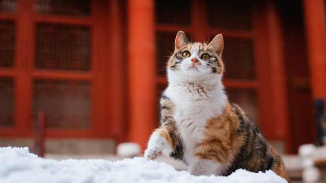 """最高端的撸猫地点:紫禁城""""宫猫""""活动路线请收好"""