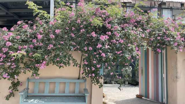 """蔷薇""""爬墙""""10年包围院门,客人进屋先穿过花瀑"""