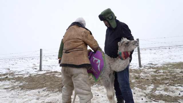 裹紧小棉袄!新疆四月降雪小骆驼重新穿上冬衣