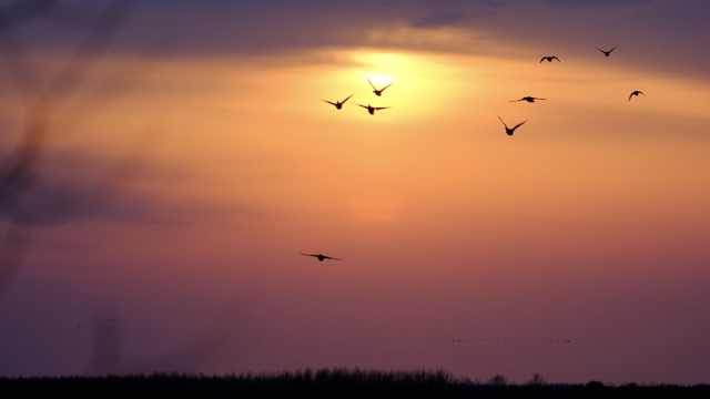 感受与大雁同飞!数万只候鸟跨境迁徙,空中飞舞遮天蔽日