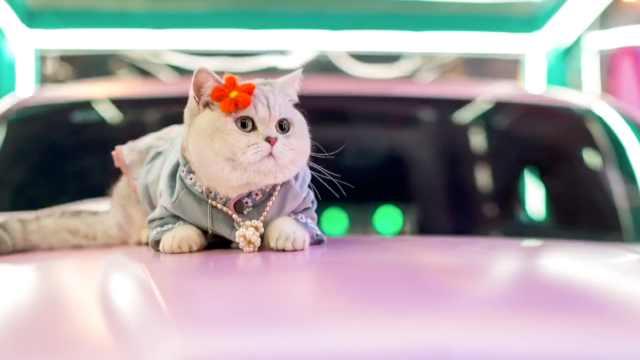 重庆有只猫成职业车模,出场费最高上万,服装比小姐姐的多