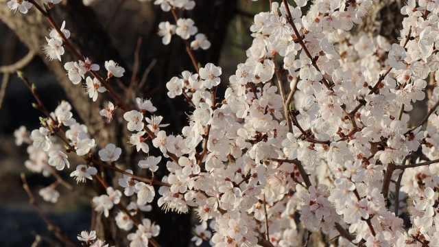 国内罕见!镜泊湖畔石头缝长出杏树,繁花绽放绵延十里