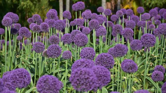 昆明植物园上万株葱花齐开放,这些关于葱的冷知识你知道吗?