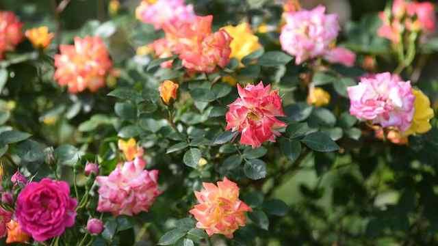 月季、蔷薇、还是玫瑰?南京中山植物园赏花大科普来了!