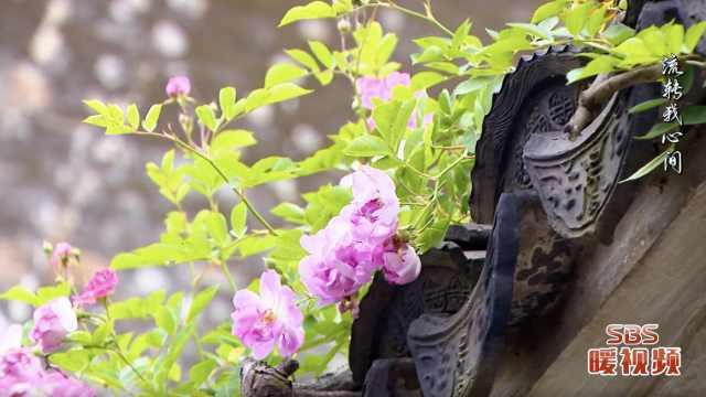 你还记得那年春天艺圃的蔷薇花吗