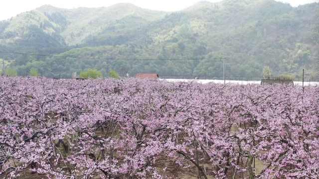 到《在那桃花盛开的地方》诞生地,一起看看桃花盛开的模样