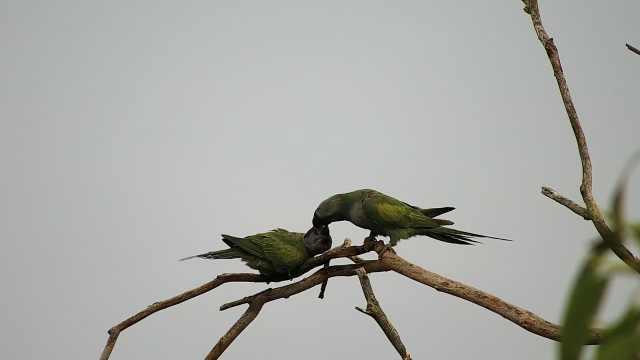 """冷知识!大紫胸鹦鹉也是""""住房困难户"""",巢穴少得排号入洞房"""