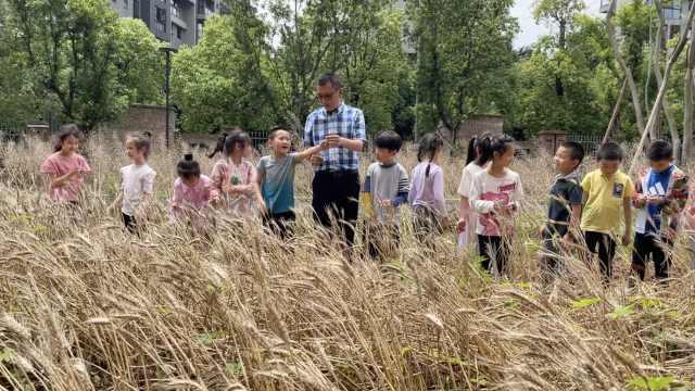 最好的一堂劳动课!重庆小学生校园内体验收麦子