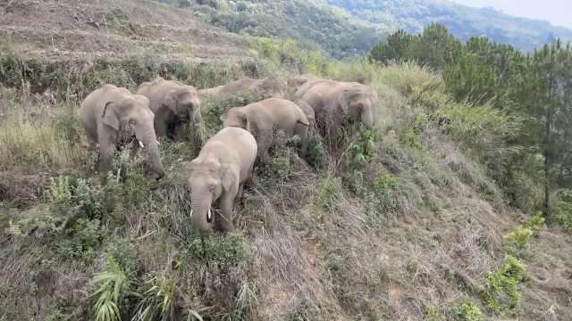 回顾云南野象群北迁路线:40多天走400公里,或因经验不足迷路