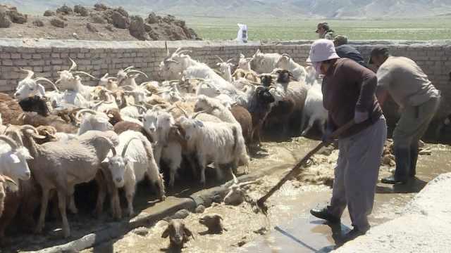 新疆草原上的羊还要洗澡?10万只羊集体入池泡药浴