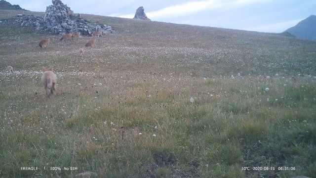 祁连山拍到史上最多豺群活动画面:14只豺同框追逐嬉戏
