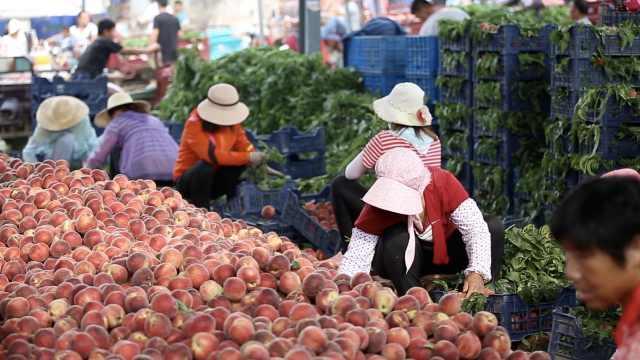 这个村家家户户只种桃!枣庄万亩鲜桃成熟,果农凌晨4点采摘