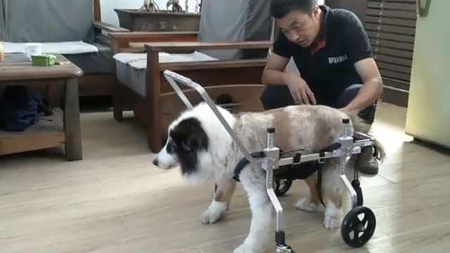 东北夫妻研制动物轮椅15年卖出数万辆,猫狗兔子仓鼠都可用