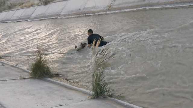 全程揪心!小牛跌入水渠被急流冲得晕头转向,他们纵身跳进去