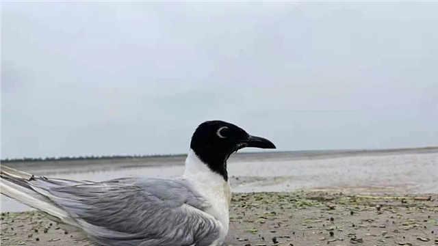 濒危黑嘴鸥陷进滩涂,好在没被猛禽发现