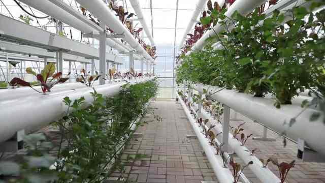 没土壤想栽种新鲜蔬菜怎么办?专家称可水培,还可控生长速度