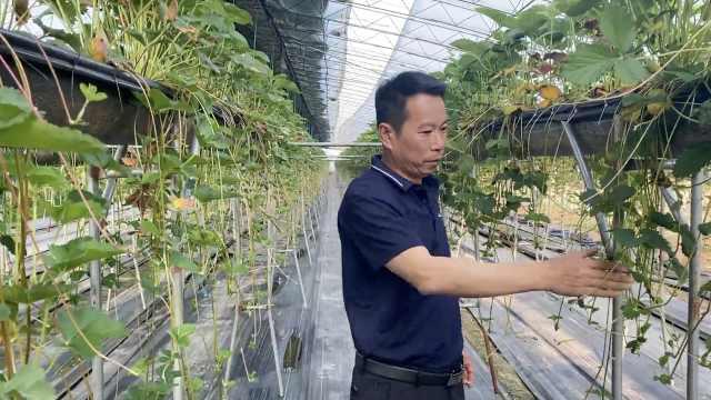 空中草莓!他让丹东草莓离开地面也能种植,手机智能化管理