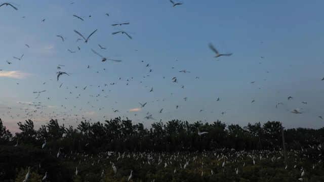 航拍江苏泗洪数万白鹭翱翔,近看如白色风暴,远看似繁星点点