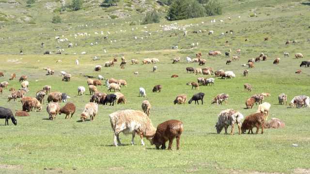 真·薅羊毛!新疆牧民夏季靠剪羊毛增收,1公斤羊毛卖5块钱