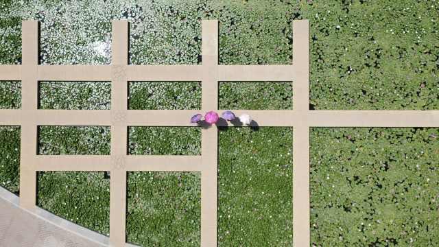航拍包头锦林公园8000株睡莲盛开,叶子层叠连成一块绿毯子