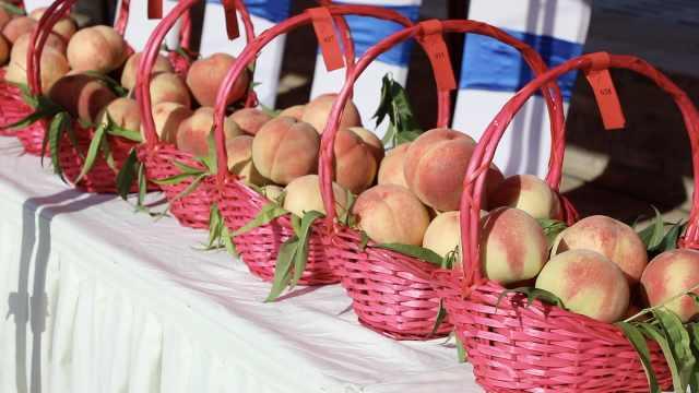 兰州500年桃乡千亩村庄有800亩桃树,桃王单个重达1斤1两