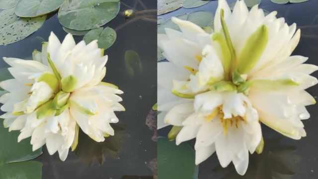 安徽一育莲池惊现四蒂莲,价值数万元,被剪下做成标本观赏
