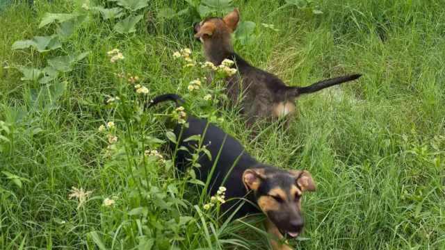2只昆明犬通过选拔进入警犬学校,训练3个月考试合格才给编制