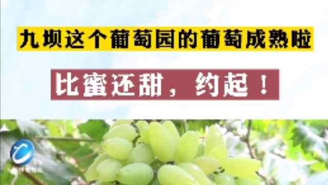 九坝这个葡萄园的葡萄成熟啦,比蜜还甜,约起!