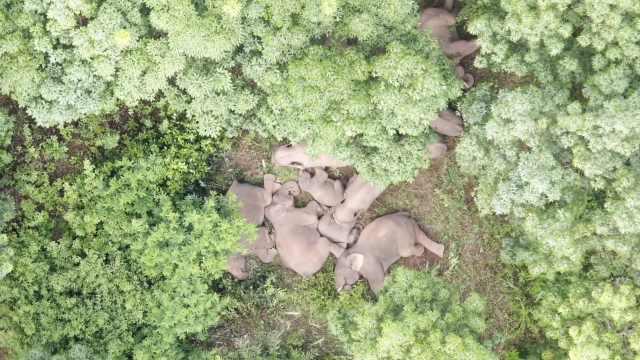 停留21天后,南返亚洲象群跨过阿墨江,回家之路还有103公里