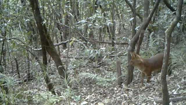 """豺狼虎豹的""""豺""""长什么样?云南普洱首次拍到豺的活动画面"""