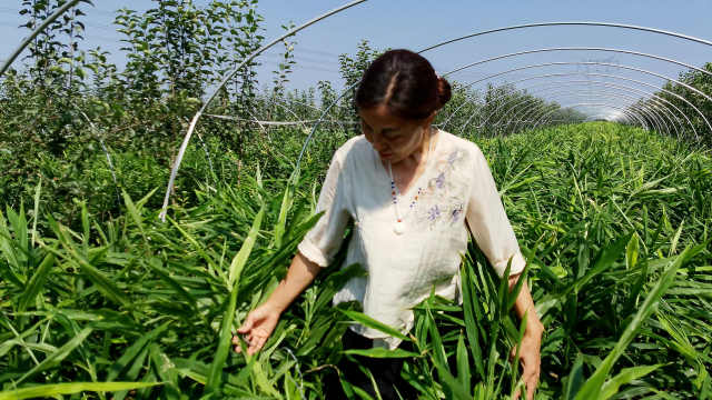 女村支书弃产业回村带乡亲发展致富,搞特色种植1地1年收3季