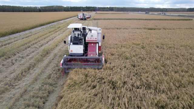 航拍东北无人机械收割水稻,3600亩稻地上看不见人