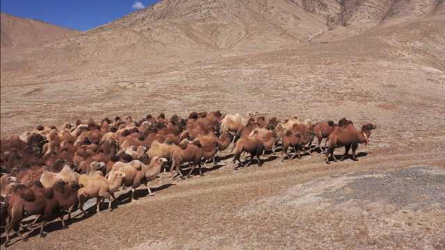 震撼!航拍甘肃牧场数百峰骆驼秋季转场,翻山越岭在山野奔跑