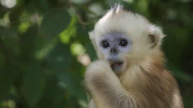 最美灵长部落!实拍神农架上千只金丝猴林间跳跃嬉戏