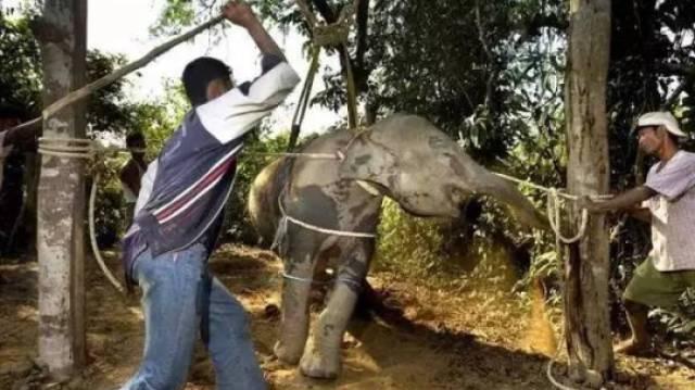泰国骑大象的背后,真相如此黑暗