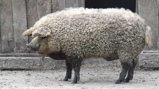 这就是传说中的草泥猪,涨见识了!