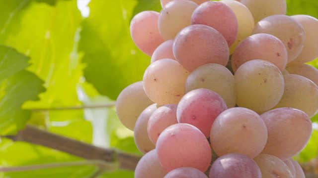 涨姿势:军事化管理种葡萄