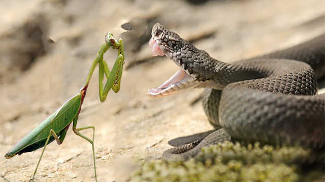蛇的天敌有哪些?螳螂也算?