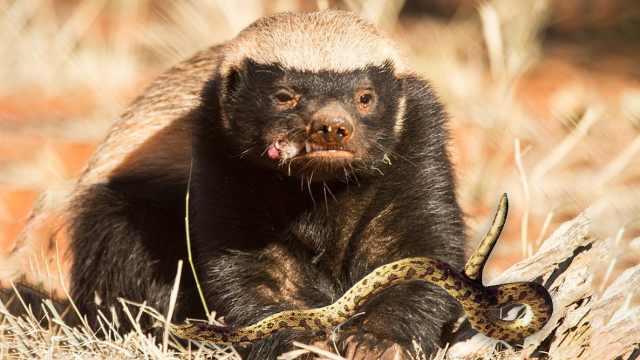 为啥社会平头哥蜜獾,能杀死毒蛇?