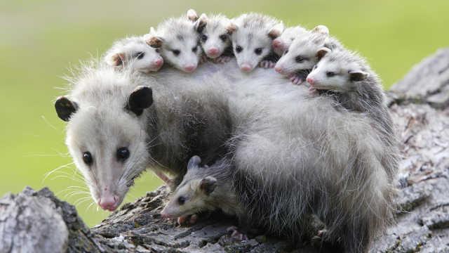为什么这个老鼠有这么多头?