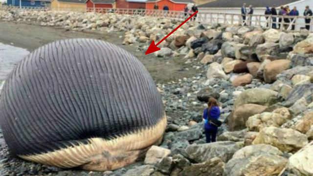 为什么鲸鱼死后,尸体会自动爆炸?