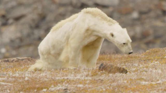 这只骨瘦如柴的北极熊即将被饿死