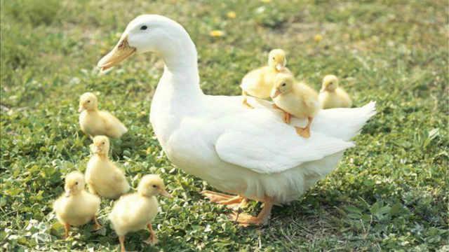 为什么鸭子小时候黄色长大就变白色