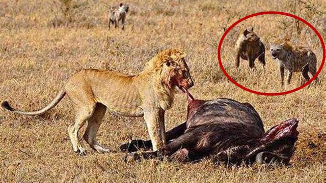 为什么狮子从不吃鬣狗肉?