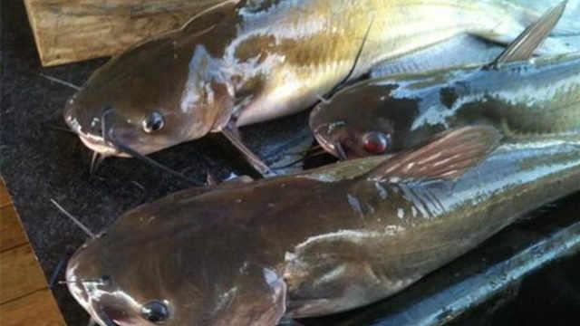为什么美国人从不吃鲶鱼?