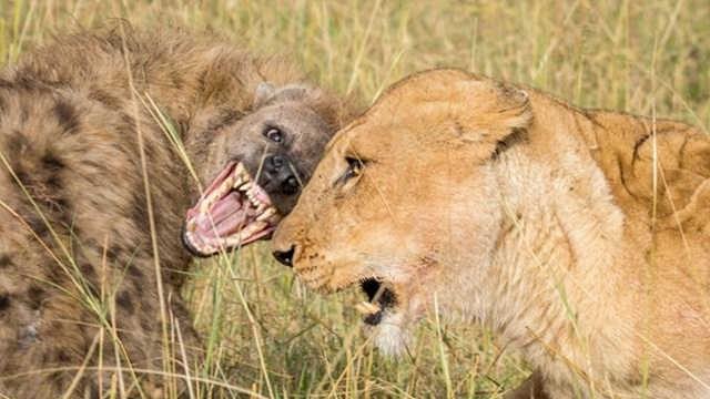 鬣狗和狮子单挑,到底谁能赢?