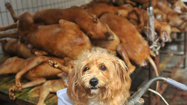 如果把狗肉放狗狗面前会什么反应?
