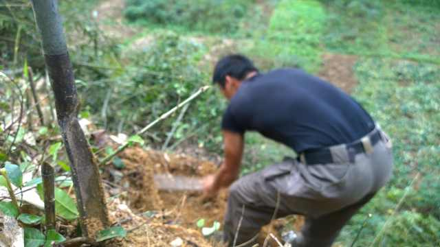 广西小伙用洛阳铲挖竹鼠